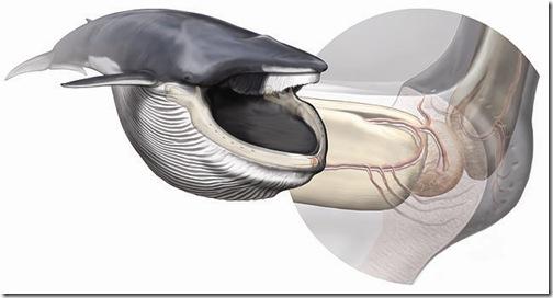 ballena-organo-sensorial