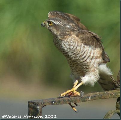 1 sparrowhawk-2 (2)