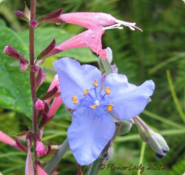 05-16-coccina-spiderwort
