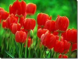 Margarida tulipa 3