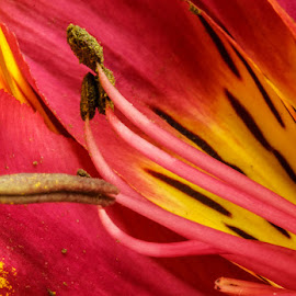 Inca lilly by Mariana Visser - Nature Up Close Other plants ( makro )