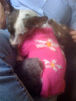 Pepper looooves her sweaters! Here she is 'pretty in pink...'