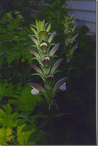 acanthus2