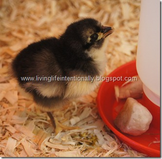 Baby Chicken Drinking