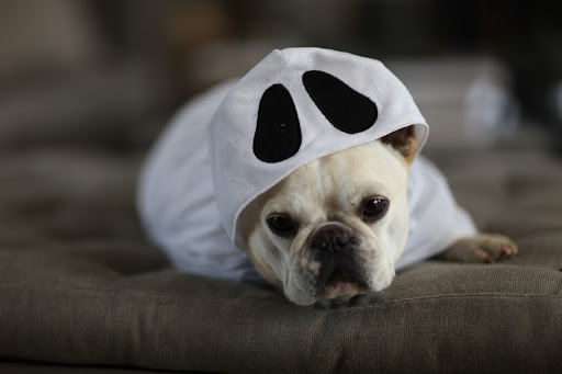 Well, you're the fashion maven. Since I'm a fawn-colored Frenchie, maybe this ghost costume suit me better?
