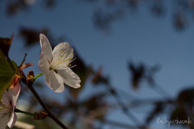 2013-05-26 Sakura 012