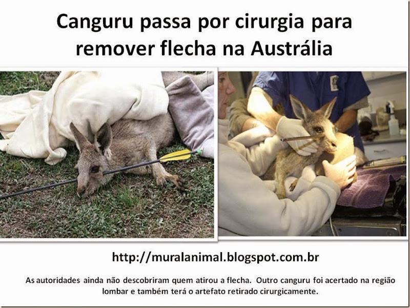 Canguru passa por cirurgia para