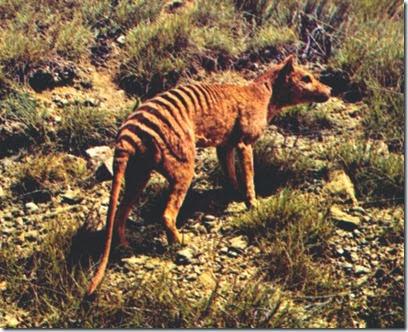 lobos de Tasmania
