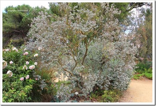130902_UCD_Aboretrum_StorerGarden_Leucophyllum-frutescens-compactum_32
