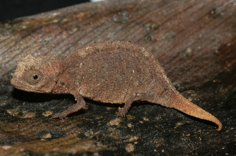 tiny-chameleon-6