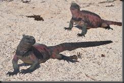 Marine iguanas 4