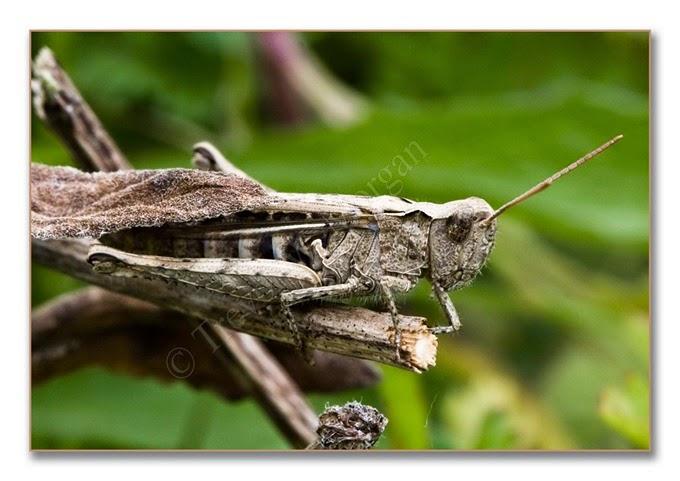 Grasshopper 3 cf