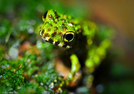 Amazing Pictures of Animals, Photo, Nature, Incredibel, Funny, Zoo, Ishikawa's frog, Odorrana ishikawae, Amphibia, Alex (4)