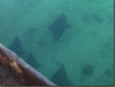 leopard ray video (23)