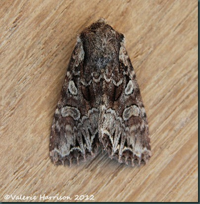 Pale-shouldered-Brocade