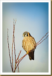 - kESTREL_ROT6806 February 17, 2012 NIKON D3S