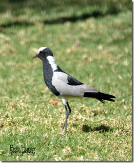 cr-Lapwing-Plover