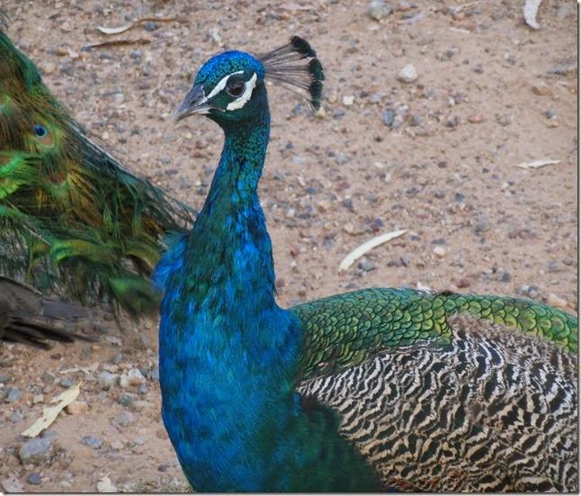 Peacock Head of