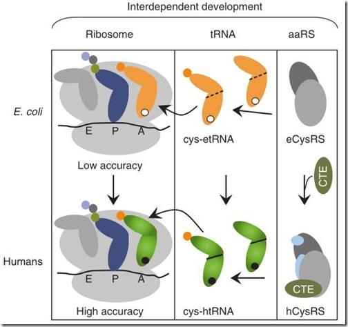 cys-tRNA