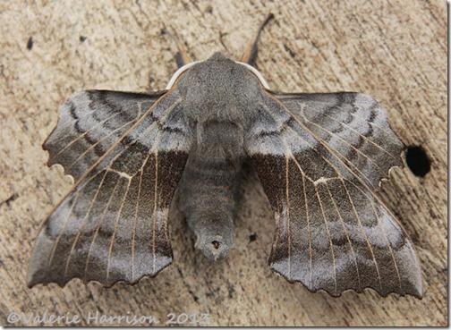 Poplar-Hawk-Moth-1