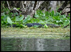 08 - Animals - Alligator 1f