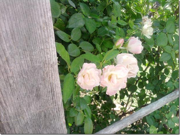 White_Roses_awaken
