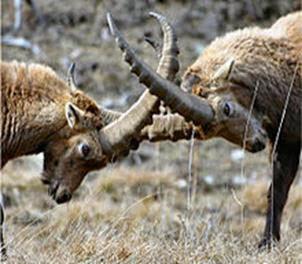 Amazing Pictures of Animals, Photo, Nature, Incredibel, Funny, Zoo, Alpine ibex, Capra ibex, Mammalia, Alex (1)