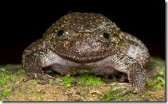 WAYANAD NIGHT FROG- Nyctibatrachus grandis