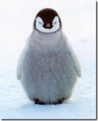 penguin-chick