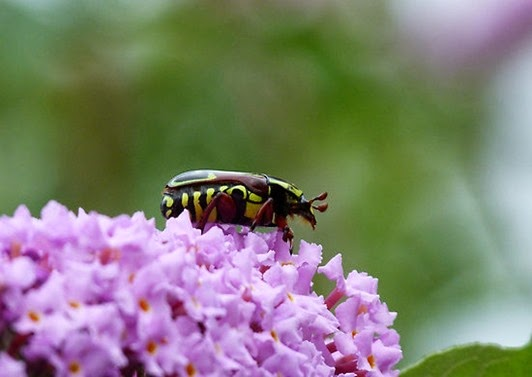 Amazing Pictures of Animals, Photo, Nature, Incredibel, Funny, Zoo, Eupoecila australasiae, fiddler beetle or rose chafer, Insecta, Alex (3)