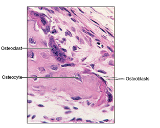osteoclasts and osteoblasts
