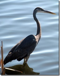 Blue Heron at Huntington Beach