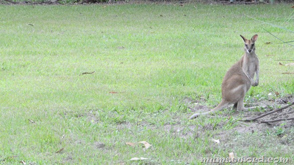 Wallaby Darwin