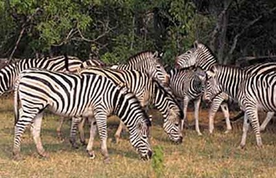 zebra_lake_mburo