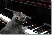 gato pianista blogdeimagenes (5)