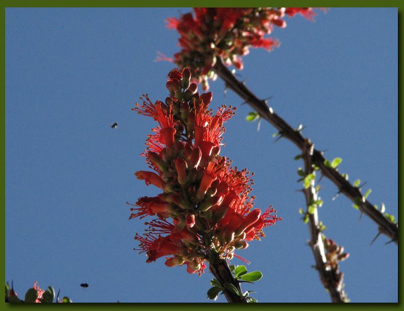 Ocotillo blossom close up