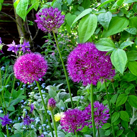 purple sensation alliums