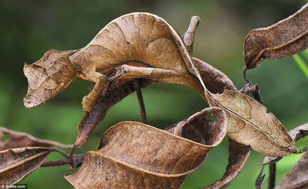 Satanic leaf tailed geckos 01