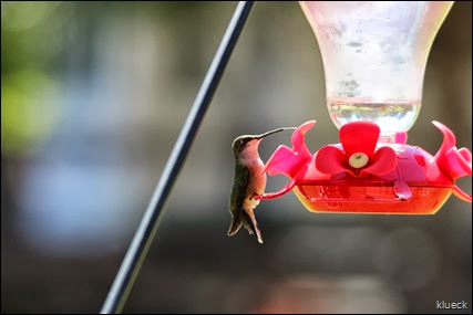 hummingbird tongue