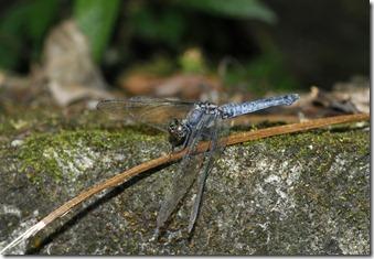 呂宋蜻蜓(翅基赤脈些許藍灰色)