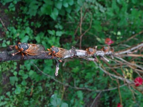 brood 19 5 cicadas on rose bush