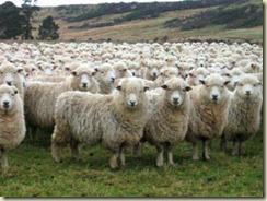 99 sheep - 03