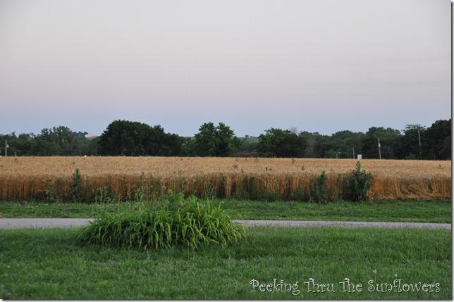 wheat field 004