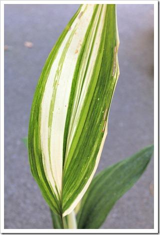 120902_Aspidistra-elatior-variegata_05