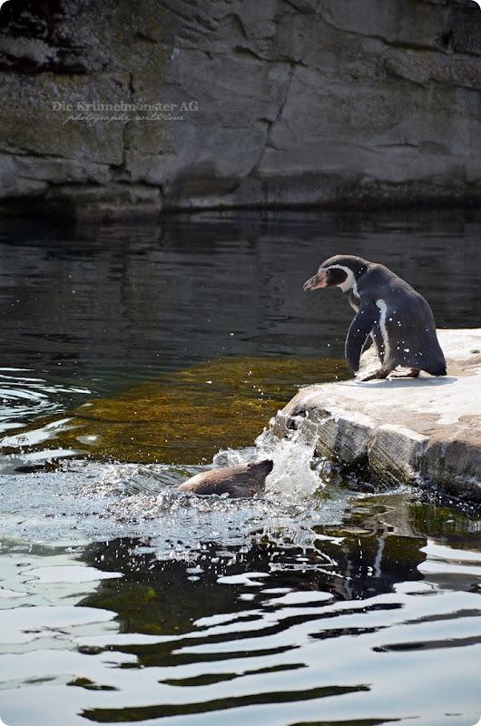 Wremen 29.07.14 Zoo am Meer Bremerhaven 15 Humboldtpinguine