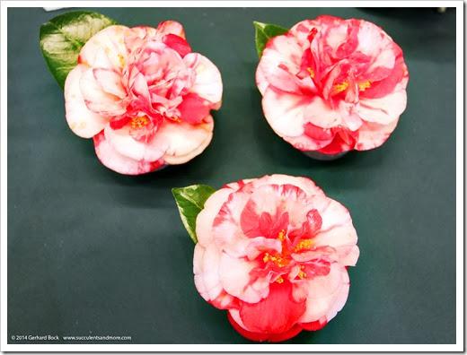 140302_Camellia_Society_Sacto_Show_016
