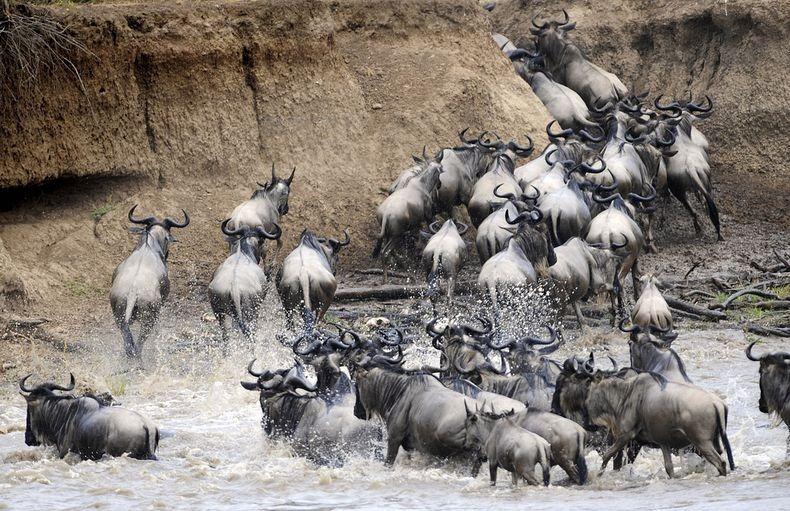 mara-river-crossing-2