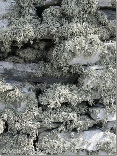 38-lichen