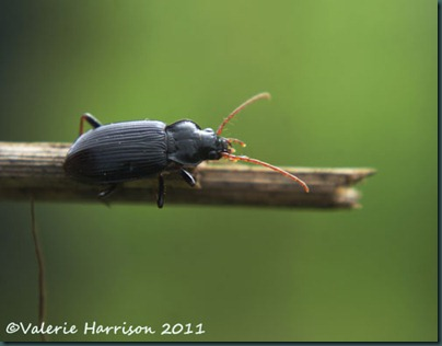 beetle nebria sp 1