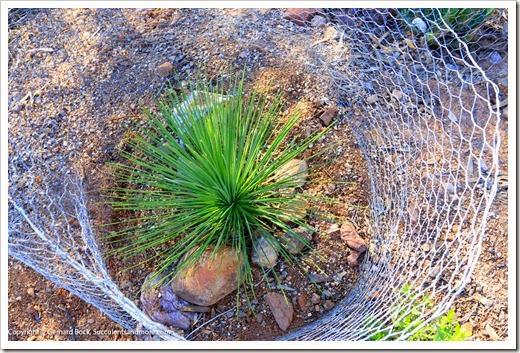 131202_StarrNurseryTucson_Yucca-queretaroensis_003